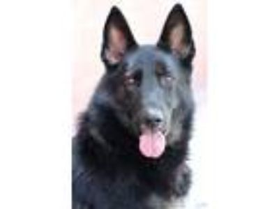 Adopt *Shadow von Anzing a German Shepherd Dog