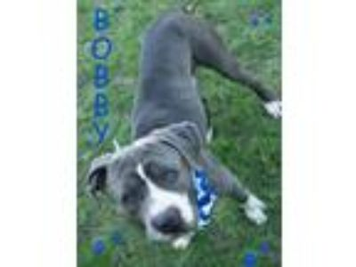 Adopt BOBBY a Gray/Silver/Salt & Pepper - with White Staffordshire Bull Terrier