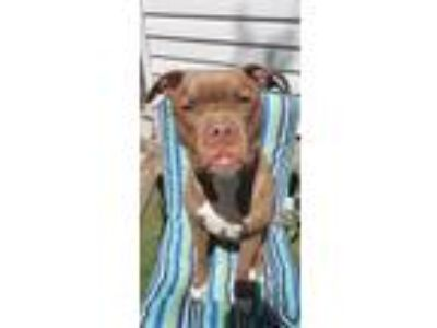 Adopt Louie a Tan/Yellow/Fawn - with White American Pit Bull Terrier / Boxer /