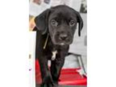 Adopt Ash a Labrador Retriever, Border Collie