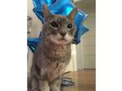 Adopt Riley a Gray or Blue Domestic Shorthair / Mixed cat in Westchester