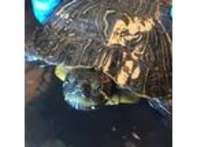 Adopt Tonka a Turtle - Other reptile, amphibian, and/or fish in Burlingame