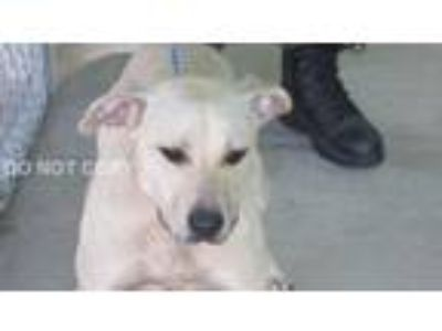 Adopt Eleanor a Yellow Labrador Retriever, Pit Bull Terrier