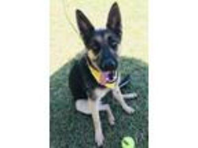 Adopt Kenda a Black - with Tan, Yellow or Fawn Shepherd (Unknown Type) / Mixed