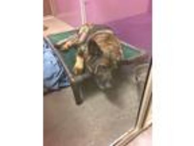 Adopt Holly a Brown/Chocolate German Shepherd Dog / Terrier (Unknown Type