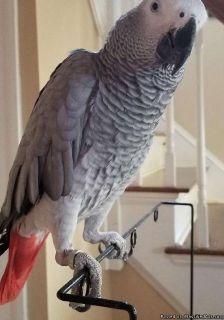 DASS,African grey parrots