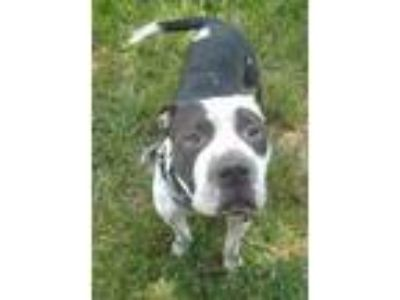 Adopt Petey a White - with Black Shar Pei / Pit Bull Terrier / Mixed dog in