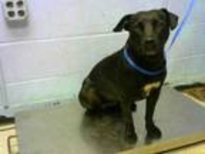 Adopt LAYLA ALI a Pit Bull Terrier, Mixed Breed