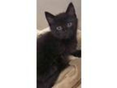 Adopt Lilly (Hinsdale) a Domestic Short Hair