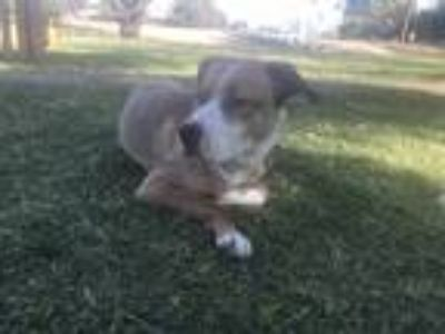 Adopt Sunny a Tan/Yellow/Fawn - with White St. Bernard / Labrador Retriever /
