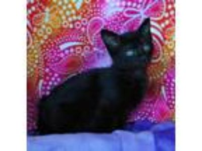 Adopt Dawn a Domestic Short Hair