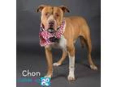 Adopt Chon a Brown/Chocolate American Pit Bull Terrier / Mixed dog in Irving