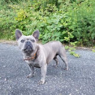 French Bulldog PUPPY FOR SALE ADN-95235 - AKC BLUE FRENCH BULLDOG 3 YEARS OLD