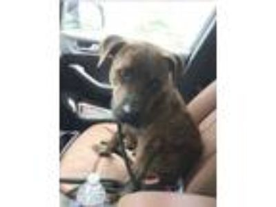 Adopt Timmy a Staffordshire Bull Terrier