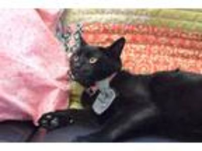 Adopt Rumba a All Black Domestic Shorthair / Mixed cat in Westmont