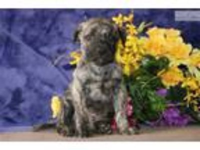Nicky JS Healthy Brindle AKC Presa Canario Puppy