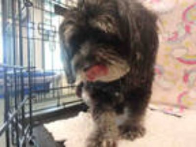 Adopt POODLE a Gray/Blue/Silver/Salt & Pepper Mixed Breed (Medium) / Mixed dog