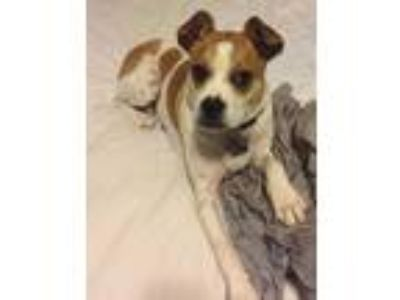Adopt Cozy a White Fox Terrier (Smooth) / Boston Terrier / Mixed dog in Heber