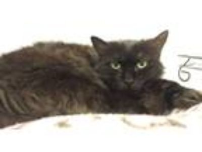 Adopt Queen Camilla a All Black Domestic Longhair (long coat) cat in Walden