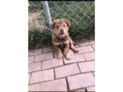 Adopt RADAR a Red/Golden/Orange/Chestnut Australian Shepherd / German Shepherd