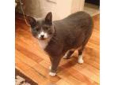 Adopt Willow a Gray or Blue Domestic Shorthair / Mixed cat in Chicago