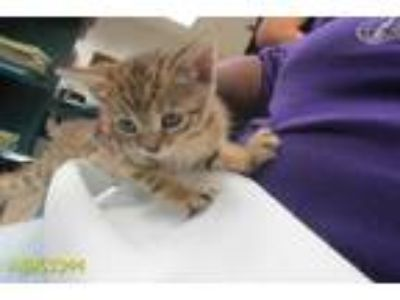Adopt CAMEO a Brown or Chocolate (Mostly) Domestic Shorthair / Mixed (short