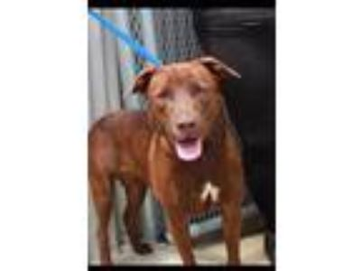 Adopt Elegant Ellen a Labrador Retriever, Chocolate Labrador Retriever
