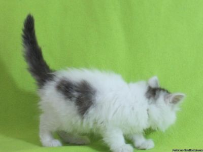 Pedigree Maine Coon Kitten