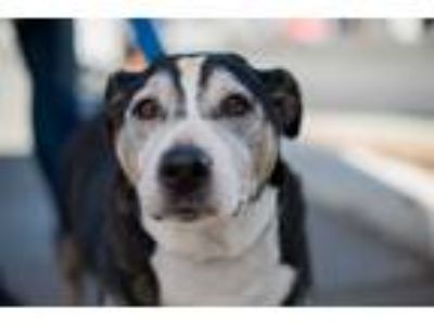 Adopt Huey a Tricolor (Tan/Brown & Black & White) Basset Hound / Mixed dog in