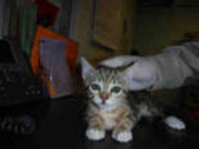 Adopt *SPICE a Brown Tabby Domestic Shorthair / Mixed (short coat) cat in Long