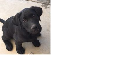 Labrador Retriever PUPPY FOR SALE ADN-81154 - AKC Black Lab male 12 weeks