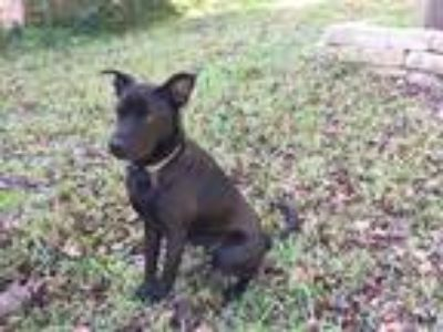 Adopt Ivy a Black Labrador Retriever / Australian Kelpie / Mixed dog in Austin