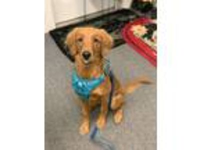 Adopt Luna a Red/Golden/Orange/Chestnut Golden Retriever / Mixed dog in Oak