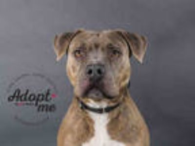 Adopt SHAY a Brindle - with White American Pit Bull Terrier / Mixed dog in