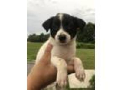Adopt Harper a Rat Terrier, Border Collie