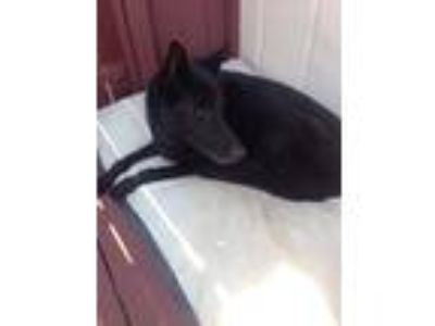 Adopt Harlie a Black German Shepherd Dog / Mixed dog in Crestline, CA (24881365)