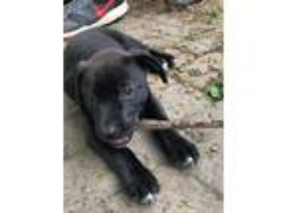 Adopt Sneakers a Brindle - with White Labrador Retriever / Hound (Unknown Type)