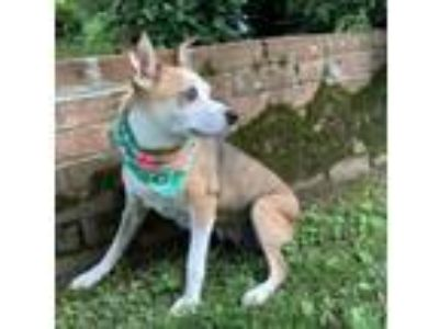 Adopt Melynn a White - with Brown or Chocolate Jack Russell Terrier / Mixed dog