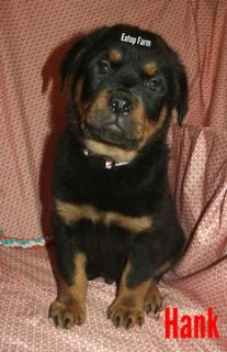 Rottweiler PUPPY FOR SALE ADN-104425 - Adorable AKC Rottweiler Male Puppy