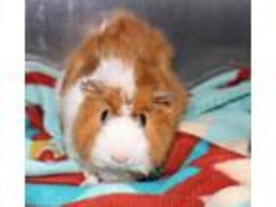Adopt 29705 - Coco a Guinea Pig small animal in Ellicott City, MD (25216571)