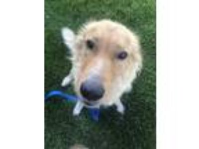 Adopt Starbrite a Tan/Yellow/Fawn Collie / Mixed dog in DeKalb, IL (25868105)