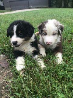 Australian Shepherd PUPPY FOR SALE ADN-96864 - Aussie Pups