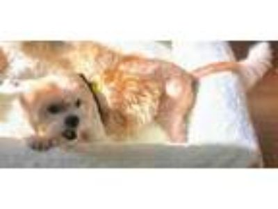 Adopt A small dog needs home - Miley a Lhasa Apso