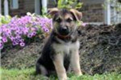 King German Shepherd mix puppies