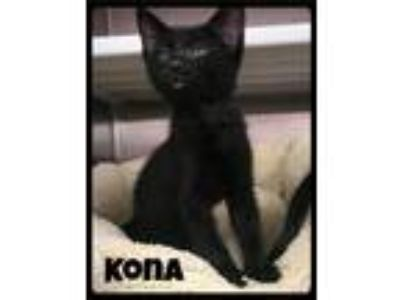 Adopt Kona - Foster / 2019 a Domestic Short Hair