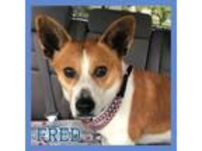 Adopt Foster Needed! - Fred a Corgi, Terrier