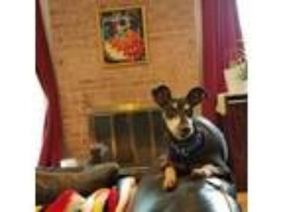 Adopt Abner a Black Miniature Pinscher dog in Northbrook, IL (24036147)