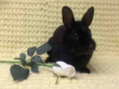 Adopt BETTY a Black American / Mixed rabbit in Los Angeles, CA (25592397)