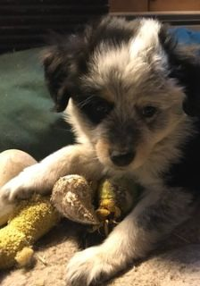 Miniature Australian Shepherd PUPPY FOR SALE ADN-102075 - Mini Aussie Pups in Maine