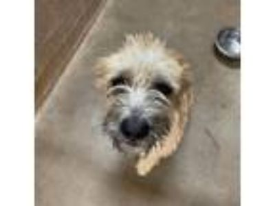 Adopt Oakley a Tan/Yellow/Fawn Wirehaired Fox Terrier / Mixed dog in San Diego